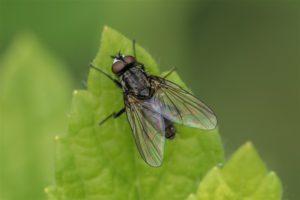 Bloemvliegen - Koolvlieg - Delia radicum