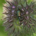 Bloemweekschilden -Cordylepherus viridis