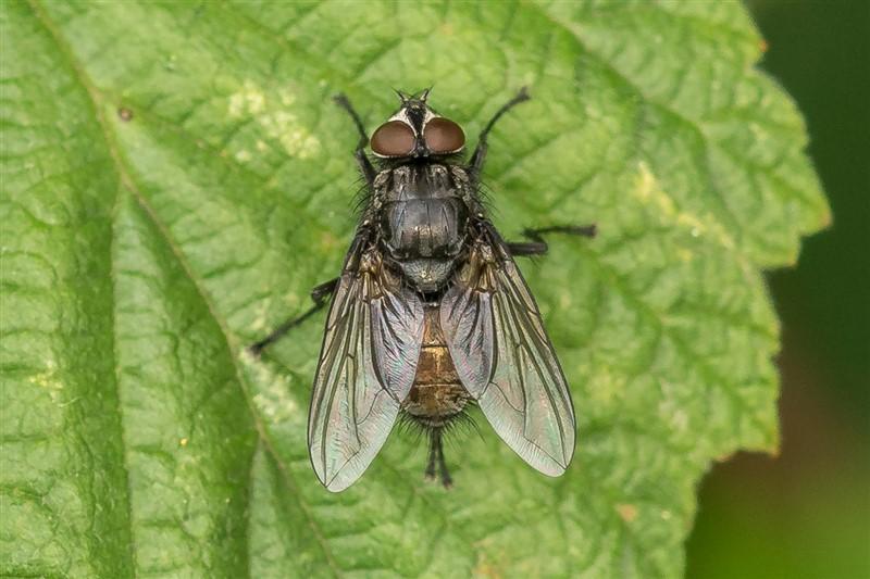 Bromvliegen - Bellardia vulgaris - man