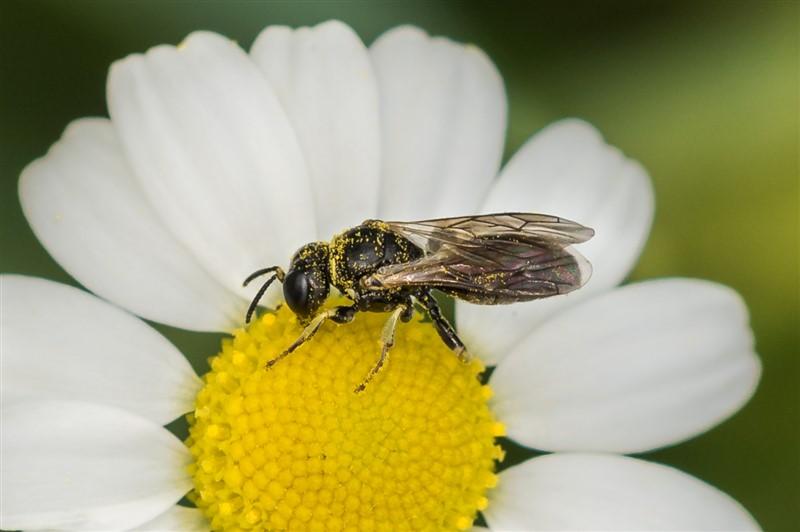 Graafwesp - Lindenius albilabris