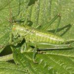 Grote Groene Sabelsprinkhaan - nimf - Tettigonia viridissima - man