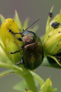 Grote Hertshooigoudhaan - Chrysolina hyperici
