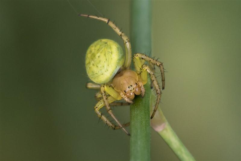 Komkommerspin - Araniella spec.