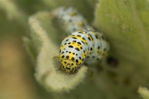 Kuifvlinder - Cucullia verbasci