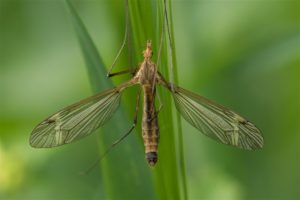 Langpootmuggen - Tipula fascipennis