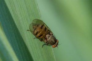 Lauxaniidae - Minettia fasciata