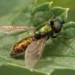 Prachtwapenvlieg - Chloromyia formosa - man