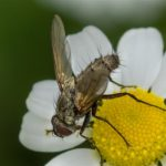 Sluipvlieg - Dinera grisescens