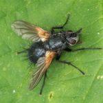 Sluipvlieg - Zophomyia temula