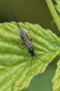 Sluipwesp onbekend - Ichneumonidae indet
