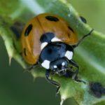 Zevenstippelig Lieveheersbeestje - Coccinella septempunctata