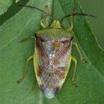Berkenkielwants - Elasmostethus interstinctus