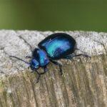 Kever - Blauwe Muntgoudhaan - Chrysolina coerulans