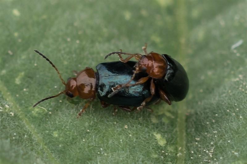Kever - Stokroosaardvlo - Podagrica fuscicornis