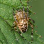 Spin -Kruisspin - Araneus diadematus