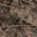 Sprinkhaan - Blauwvleugelsprinkhaan - Oedipoda caerulescens