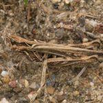 Sprinkhanen - Biguttulus-groep - Chorthippus biguttulus-group - Ratelaar