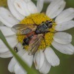Vlieg - Sluipvlieg - Eriothrix rufomaculata