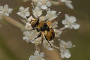Vlieg - Sluipvliegen - Gymnosoma spec.