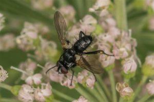 Vlieg -Sluipvliegen - Phania funesta