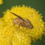 Vliegen - Lauxaniidae - Tricholauxania praeusta
