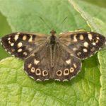 Vlinder- Bont Zandoogje - Pararge aegeria