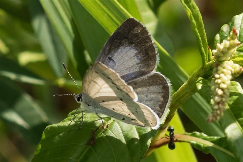 Vlinder- Boomblauwtje - Celastrina argiolus