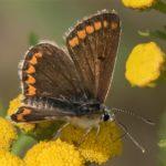 Vlinder- Bruin Blauwtje - Aricia agestis