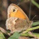 Vlinder -Hooibeestje - Coenonympha pamphilus