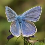 Vlinder- Icarusblauwtje - Polyommatus icarus