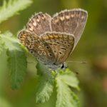 Vlinder -Icarusblauwtje - Polyommatus icarus