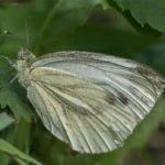 Vlinder -Klein Geaderd Witje - Pieris napi