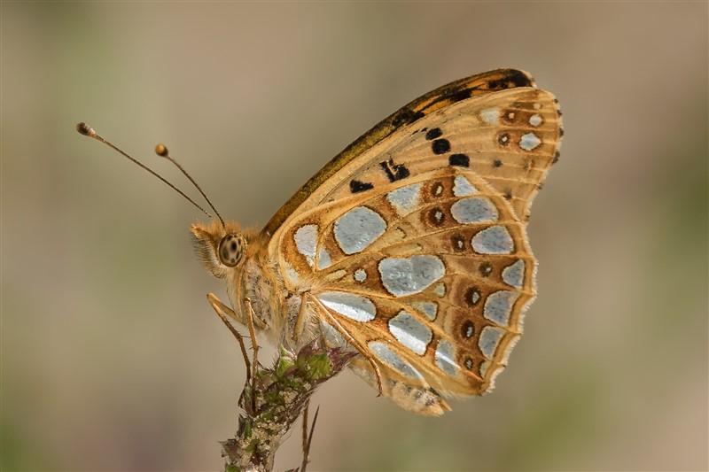 Vlinder- Kleine Parelmoervlinder - Issoria lathonia