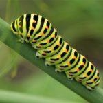 Vlinder- Koninginnenpage Rups - Papilio machaon