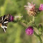 Vlinder- Spinneruilen - Spaanse Vlag - Eupgia quadripunclataria