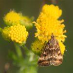 Vlinder -Weegbreemot - Pyrausta despicata
