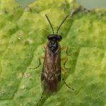 Wesp - Bladwesp - Athalia circularis