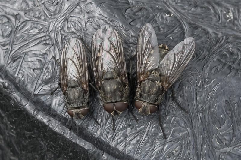 Vleesvliegen, bromvliegen - Pollenia spec.