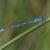 Azuurwaterjuffer - Coenagrion puella