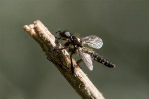 Kleine Rouwvlieg - Bibio lanigerus