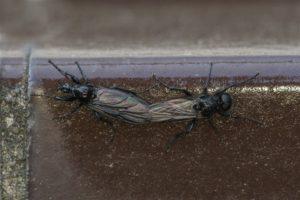 Rouwvliegen - Bibio marci