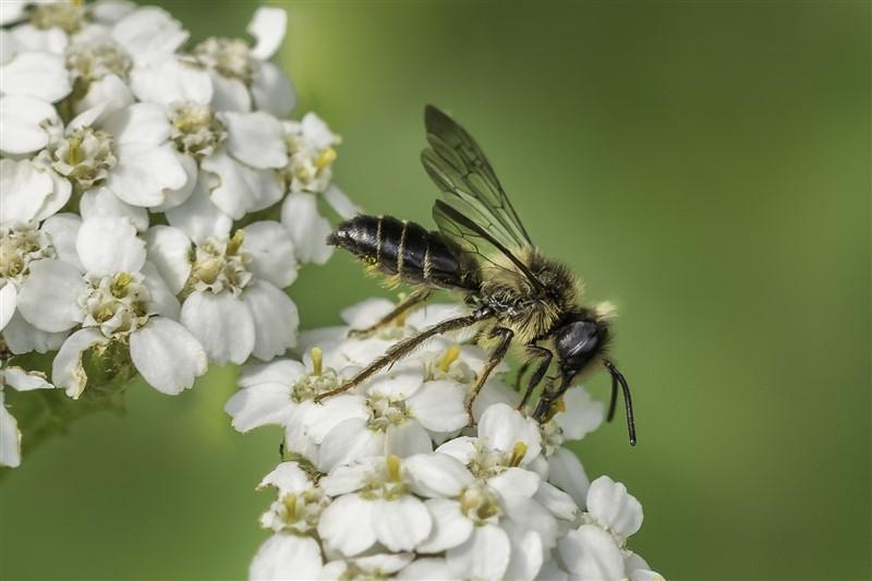 Kruiskruidzandbij - Andrena denticulata