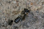 Behangersbij - Megachile spec.