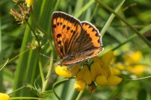 Grote Vuurvlinder - Lycaena dispar
