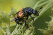 Aaskever - Gewone Doodgraver - Nicrophorus vespilloides