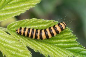 Rups - Sint-jacobsvlinder - Tyria jacobaeae