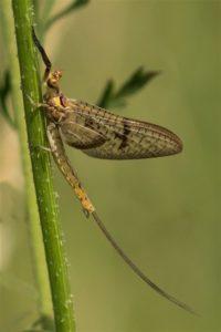 Vierlijneendagsvlieg - Ephemera glaucops