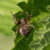 Vale Wielwebspin -Larinioides patagiatus
