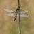 Viervlek - Libellula quadrimaculata