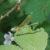 Weidebeekjuffer - Calopteryx splendens - vrouw